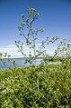 Conium maculatum near Liepājas lake. Болиголов пятнистый. - panoramio.jpg