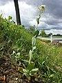 Conringia orientalis sl26.jpg