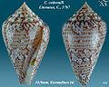 Conus cedonulli 3.jpg