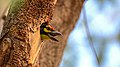 Coppersmith barbet at IIT Delhi.jpg