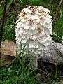 Coprinus comatus - Навозник белый или лохматый.jpg