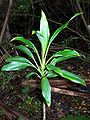 Cordyline rubra Coffs.jpg