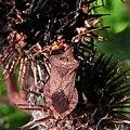 Coreus marginatus on Arctium tomentosum20090912 138.jpg