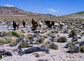 Cornelio Saavedra, troupeau de vigognes.jpg