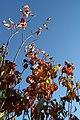 Cornus florida 11zz.jpg