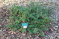 Correa calycina - San Luis Obispo Botanical Garden - DSC05869.JPG