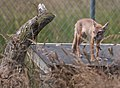 Corsac fox alert and watching 2 (9295909870).jpg