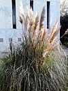 Cortaderia selloana-Pampas grass.jpg