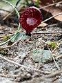 Corybas undulatus.jpg