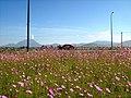 Cosmos flower meadow - panoramio (4328).jpg