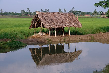 Rice, cattle and fishing in rivers and ponds are important sources of food. CowShed.JPG