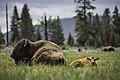 Cow & calf bison, Fountain Flat Drive (a6c7fcc1-0678-47f0-8ba2-375e2feea887).jpg