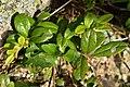 Cowberry (Vaccinium vitis-idaea) - Oslo, Norway 2020-08-26.jpg