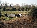 Cows graze Hoe Rough - geograph.org.uk - 390936.jpg