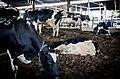 Cowshed in kibbutz Ein Hamifraz 3.jpg