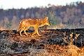 Coyote (5968100804).jpg