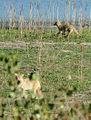 Coyote Pups Playing (4819443866).jpg
