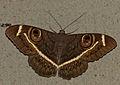 Cream-striped Owl (Cyligramma latona) (12951975553).jpg
