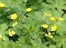 Creeping buttercup (1).jpg