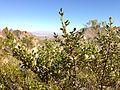 Creosote bush (11003677745).jpg