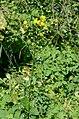 Crepis biennis habitus.jpg