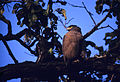 Crested Serpent Eagle (Spilornis cheela) (19597470314).jpg