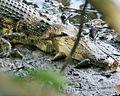 Crocodile - Flickr - Lip Kee (1).jpg
