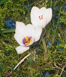 Crocus - Wikipedia