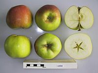 Cross section of Cleeve, National Fruit Collection (acc. 1938-003).jpg
