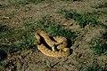 Crotalus viridis 02.jpg