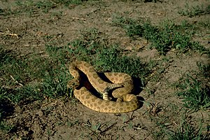 Crotalus viridis - In a defensive posture.