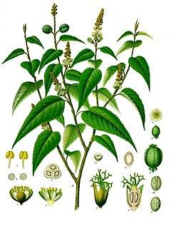 Croton eluteria - Wikipedia, la enciclopedia libre