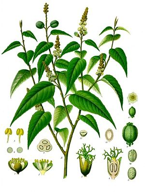 Croton eluteria, Illustration