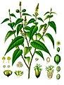 Croton eluteria - Köhler–s Medizinal-Pflanzen-196.jpg