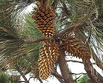 Coulter pine - Image: Crw 1691 web