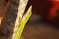 Cuban Green Anole (Anolis porcatus).jpg