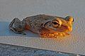 Cuban Tree Frog (Osteopilus septentrionalis) (8573972709).jpg