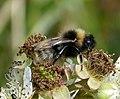 Cuckoo Bumblebee. Bombus sylvestris (36008834392).jpg