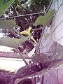 Cucurbita moschata (zapallo espontáneo) flor femenina F03 antesis vista lateral.JPG