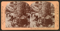 Cutting timber in the state of Washington, U.S.A, by Singley, B. L. (Benjamin Lloyd) 2.png