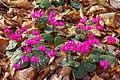 Cyclamen coum (d.j.b.) 03.jpg