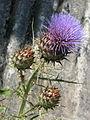 Cynara cardunculus flavescens (14684164583).jpg