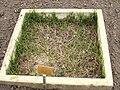 Cynodon dactylon - Berlin Botanical Garden - IMG 8587.JPG