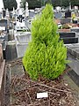 Cypress on grave of Puteaux2.jpg