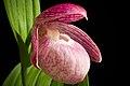 Cypripedium macranthos Sw., Kongl. Vetensk. Acad. Nya Handl. 21 251 (1800) (40903513643).jpg