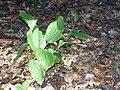 Cypripodium calceolus Parviflorum 0zz.jpg