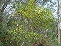 Cytisus arboreus baeticus 1.JPG