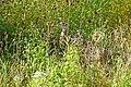 DSC02951 - Female Pheasant (31100615588).jpg