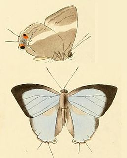 <i>Dacalana cotys</i> species of insect