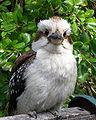 Dacelo novaeguineae, Swanbourne 2.jpg